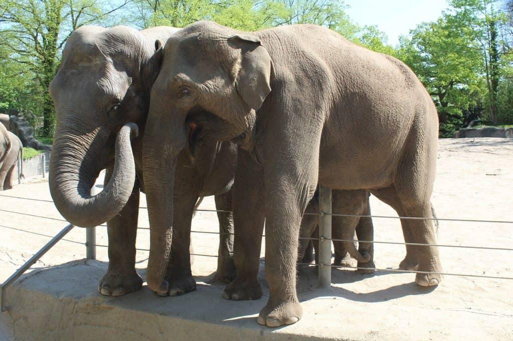 Hagenbecks Tierpark Elefanten